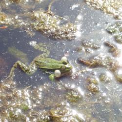 Mala zelena žaba Rana esculenta  gotovo je neprimjetna u zelenilu lokvi i bara za vrijeme parenja u rano proljeće