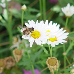 U Muršćaku ima i divljih pčela kao što je ova snimljena na cvijetu ivančice.