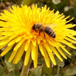 Pčela na maslačku Taraxacum officinale.