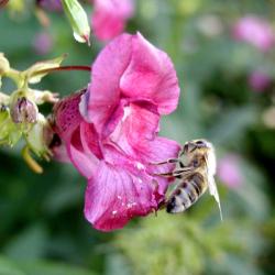 Uz bare na poplavnom području rijeke Mure veoma je rasprostranjena biljka nedotik Eupatoria cannabium koja cvjetajući u jesen predstavlja glavnu pašu za pčele.