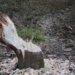 Djelo najvrjednijih drvosječa Murščaka - dabrova