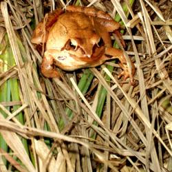 Smeđa žaba ili hrženica Rana temporaria veoma je dobro prilagođena  hladnijim jesenskim danima. Pridružuje se noćnom koncertu mnogobrojnih vrsta žaba koje ovdje žive.