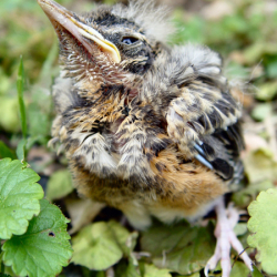 Mladi ptić