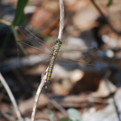 vretence skupine Anisoptera